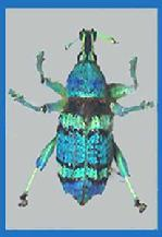 This amazingly colored weevil is in reality only about an inch long.It is incredibly exotic