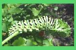 The Parsely  Caterpillar (papilio polyxenes) is the larva of the Eastern Swallowtail Butterfly. Found on parsley and other related plants, this one was raised at home and photographed before it became a butterfly.