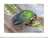 en June Beetle.(cotinus nitida)  Photographed live by SB of Elegant Insects